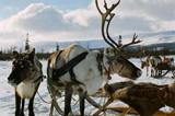 Северные олени в упряжке