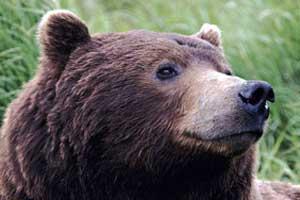 Медведи в Мурманской области 2015