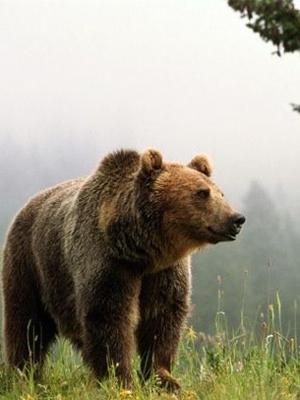 Медведи выходят в города Мурманской области
